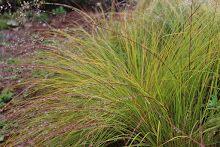 Sporobolus heterolepsis (Prairie dropseed)