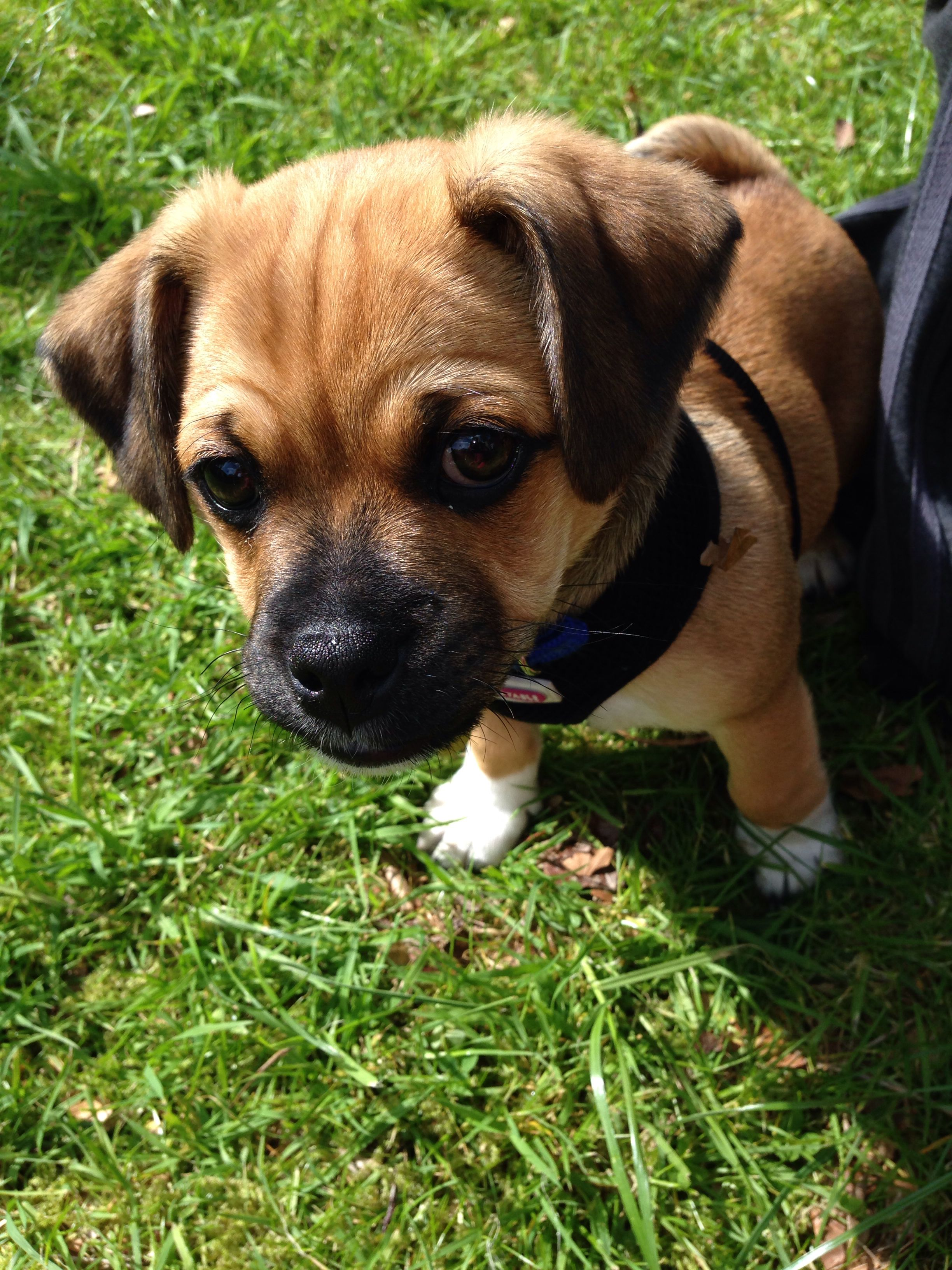 Cute Jug Puppy Dog Jack Russell Cross Pug Jug Jackrussell Pug