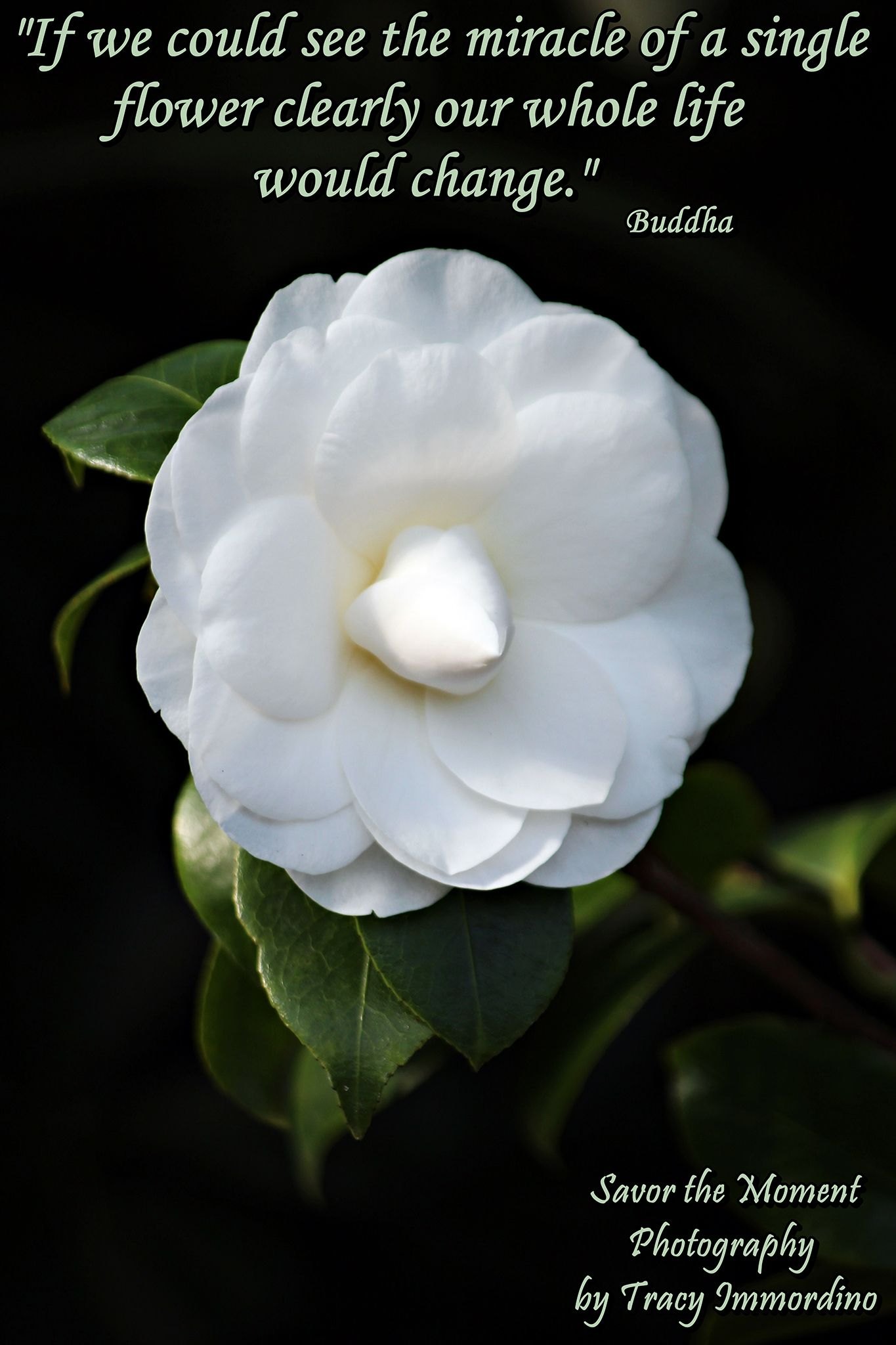 white camellia quote savor the moment photography by tracy