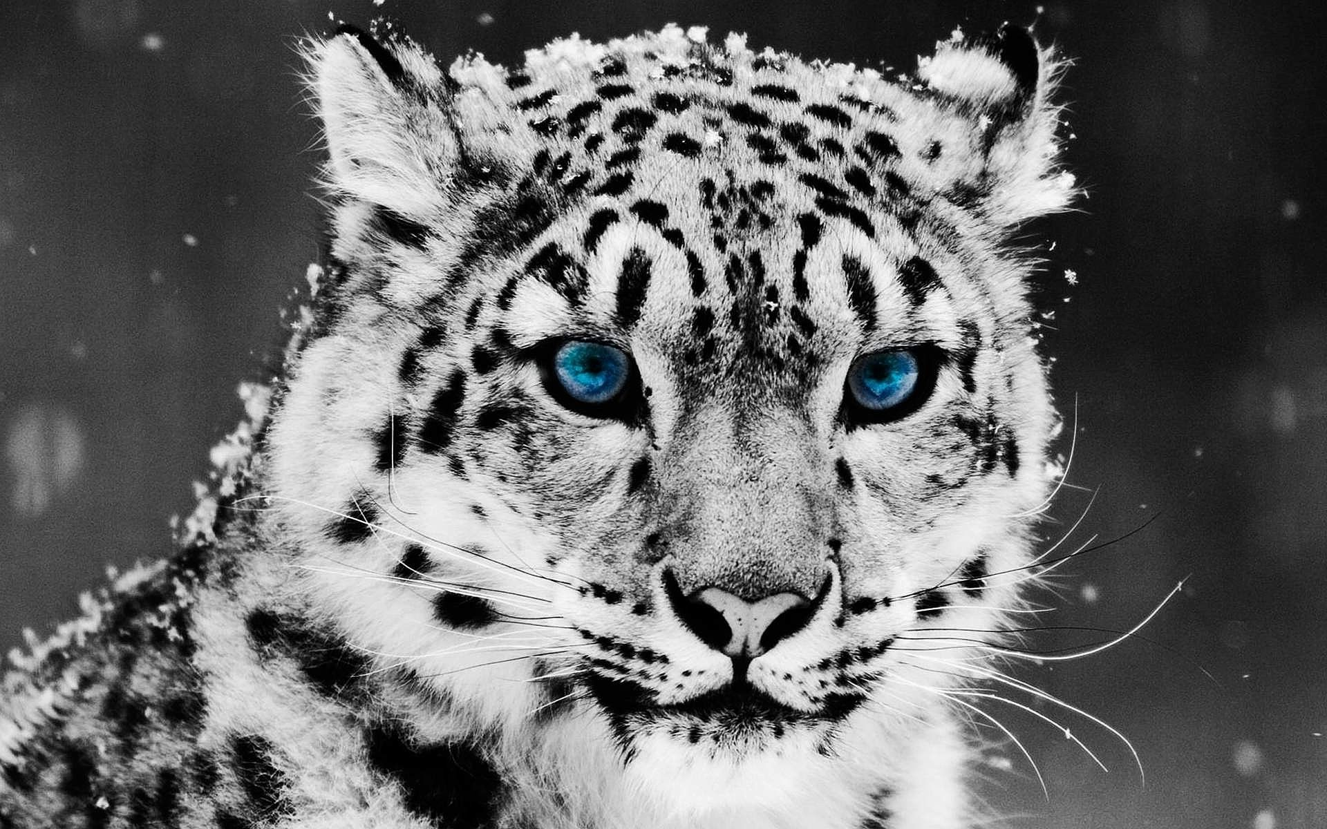 Snow Leopard Full Hd Wallpapers Full Hd Pictures Snow