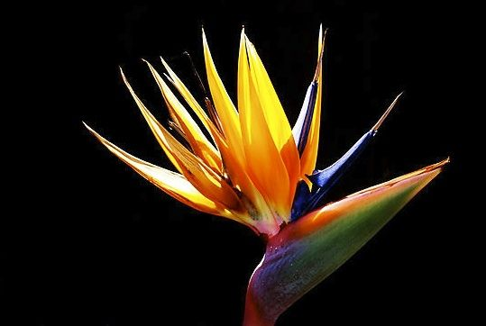 99 The Bird Of Paradise Flower Meaning Symbolism