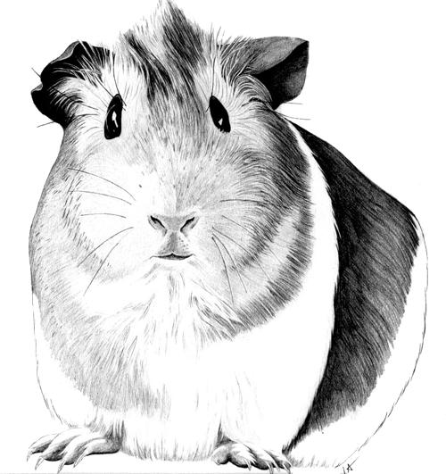 Dessin rongeurs co pinterest cochon d 39 inde comment dessiner et astuces de peinture - Comment dessiner un cochon d inde ...