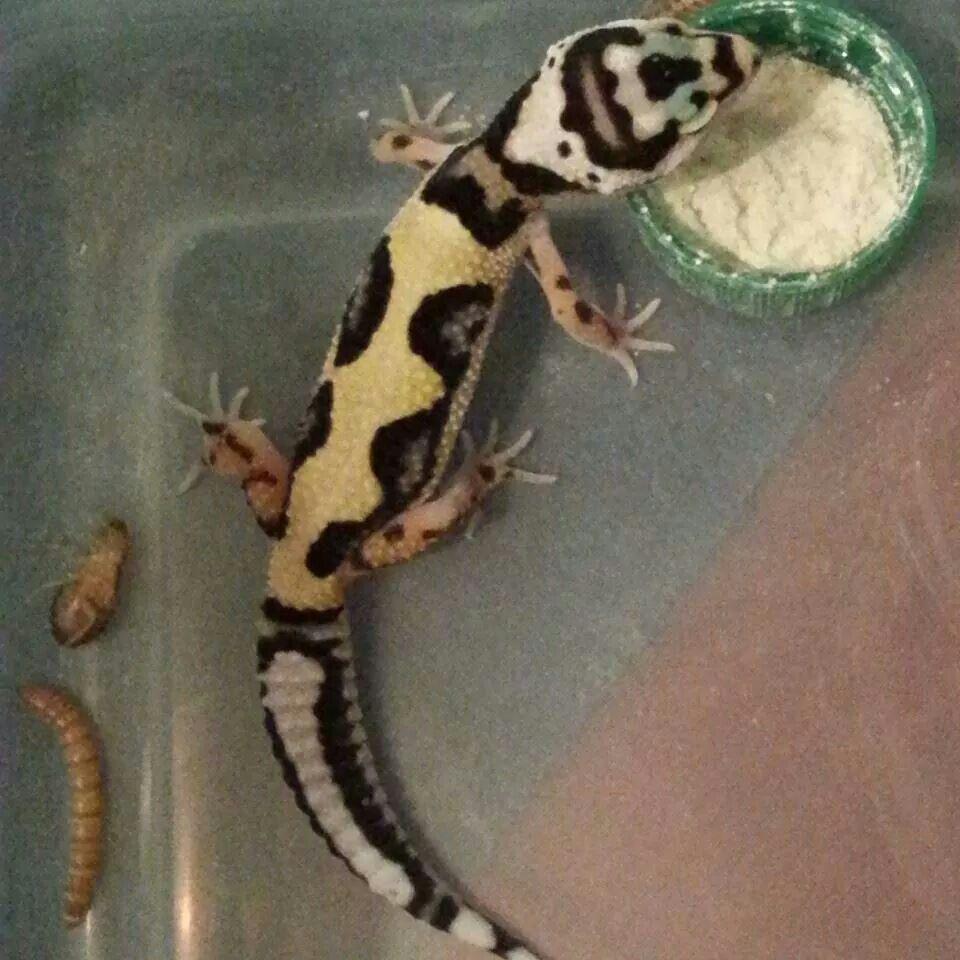 Bold stripe lavender bandit rainbow geckos pheonix - Bold habitat ...