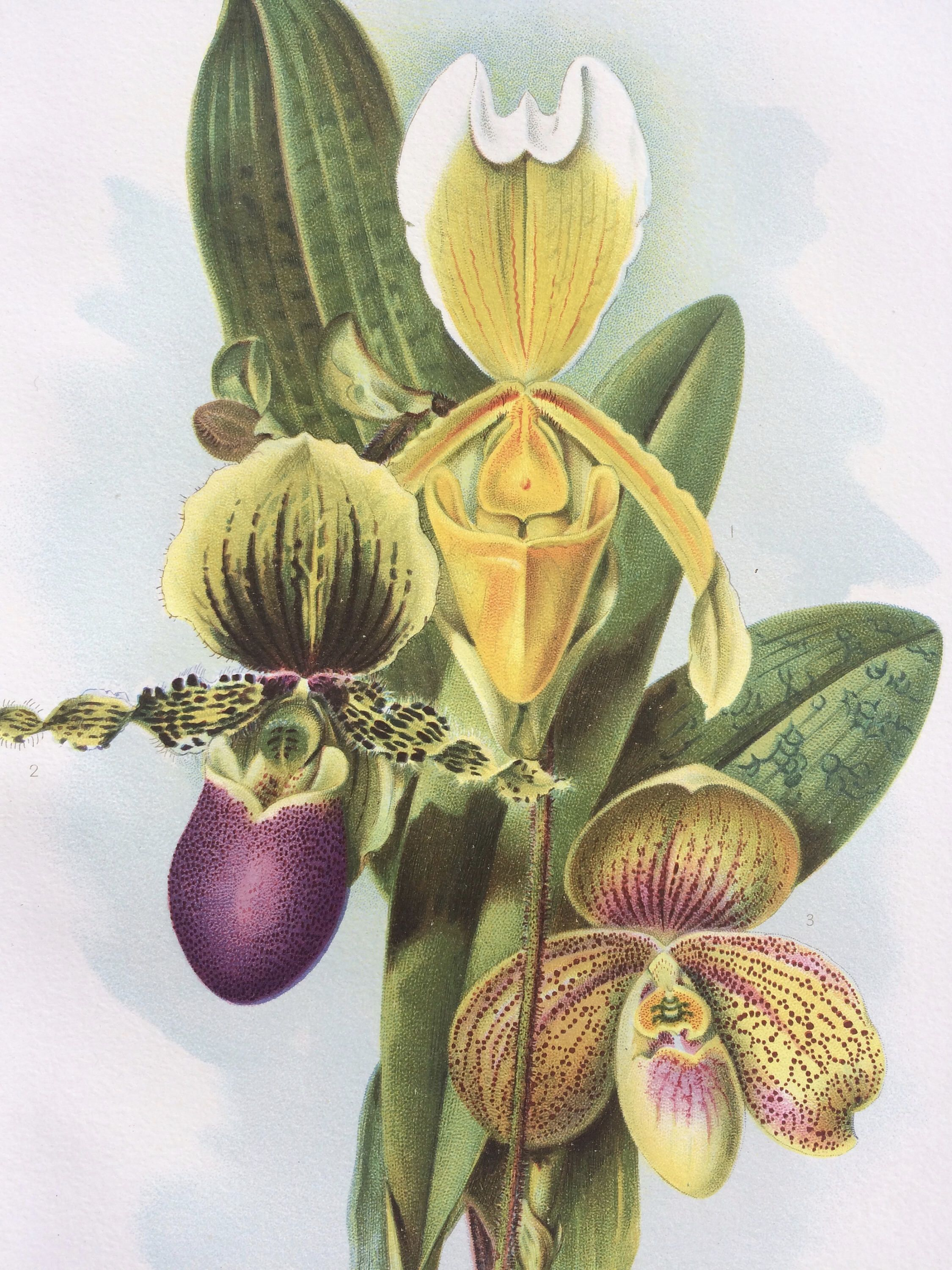 1904 Orchids Original Antique Print - Cypripedium Insigne ...