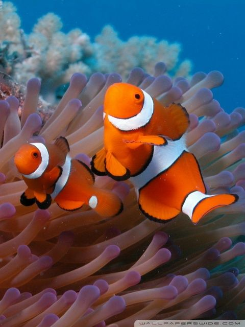 Clownfish And Sea Anemone Hd Desktop Wallpaper High Definition