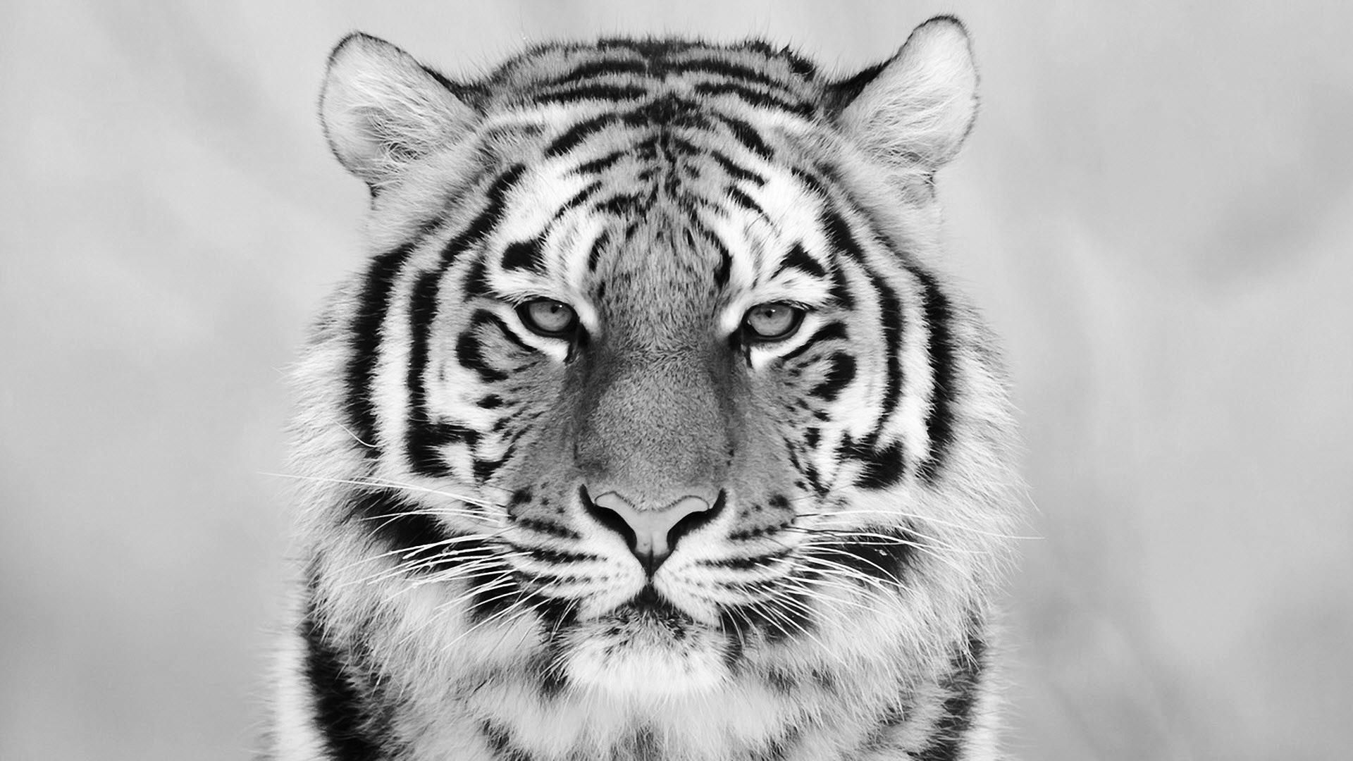 white tiger hd wallpapers backgrounds wallpaper 1920 1080 white