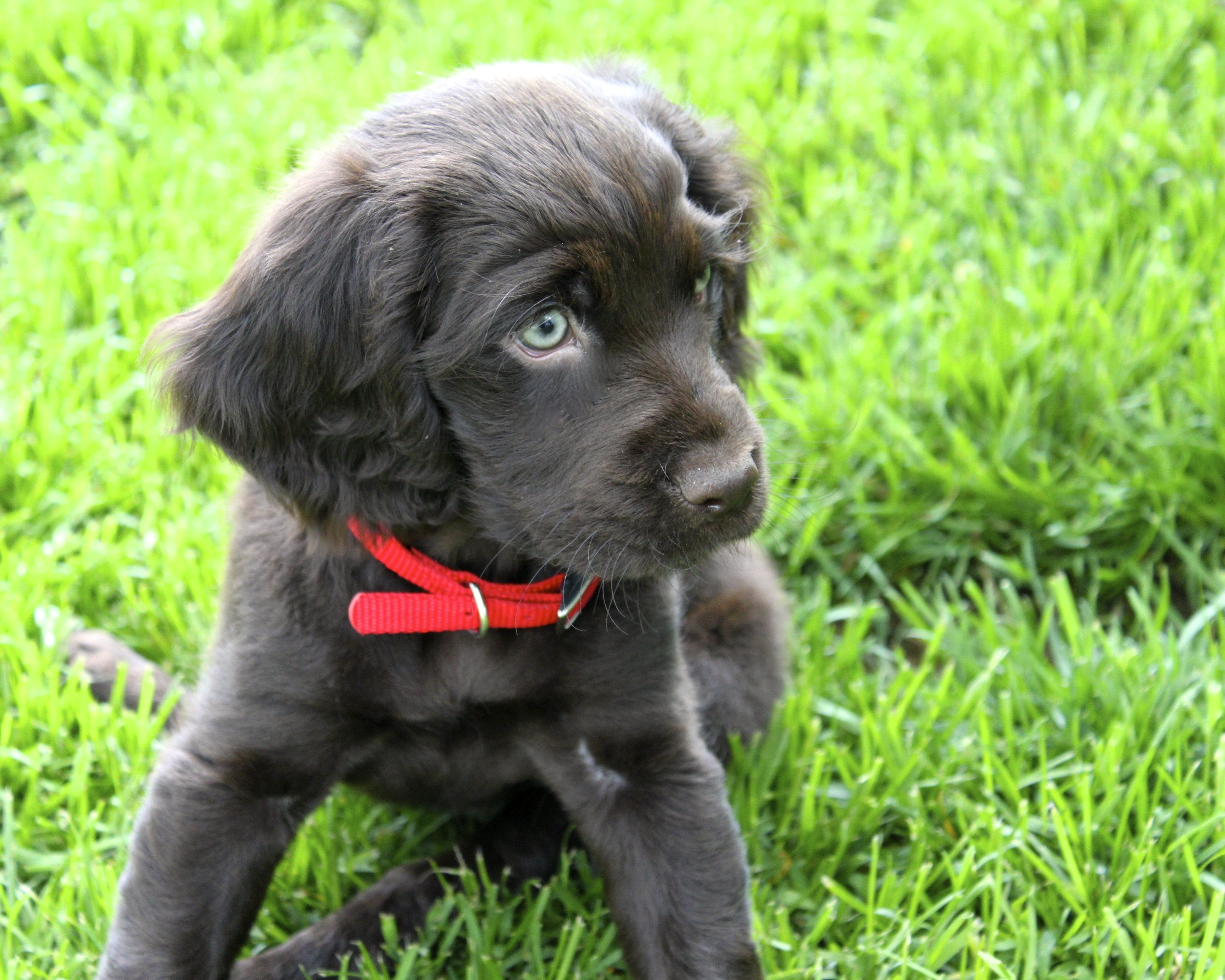 One Of The Cutest Puppies Everykin Spanieltulle