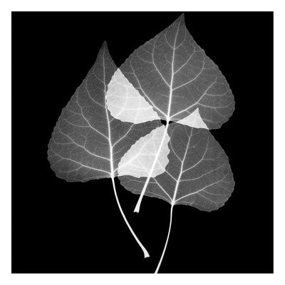 Leaves trio black and white art print at allposters com