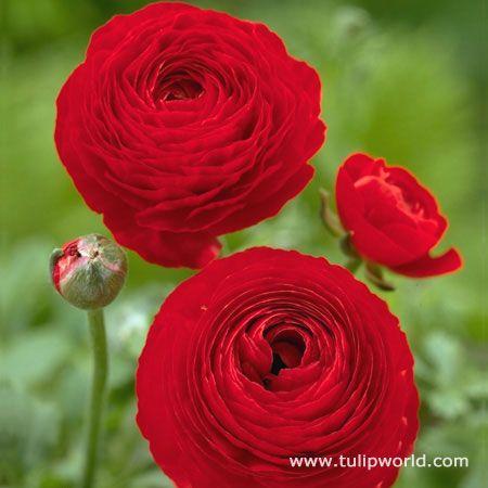 Red Ranunculus 37124 Bulb Flowers Flowers Red Flowers