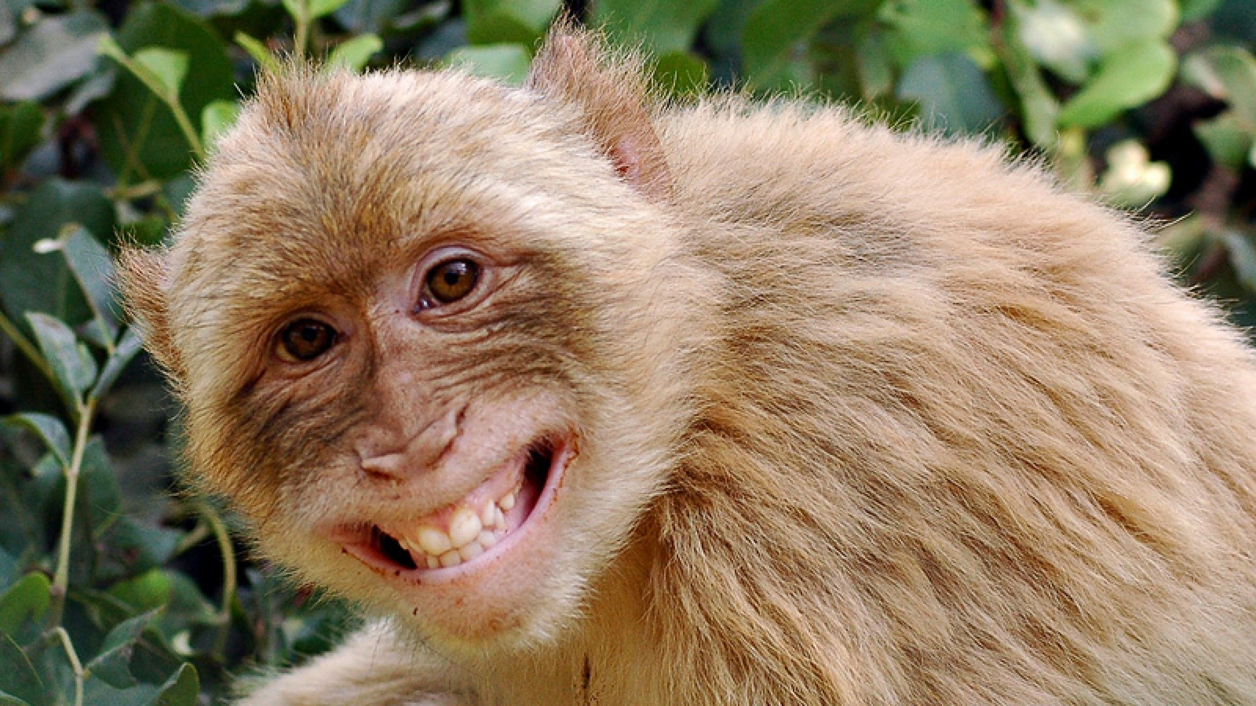 Monkey Wallpaper funny monkey pictures wallpaper wallpaper download monkey | hd