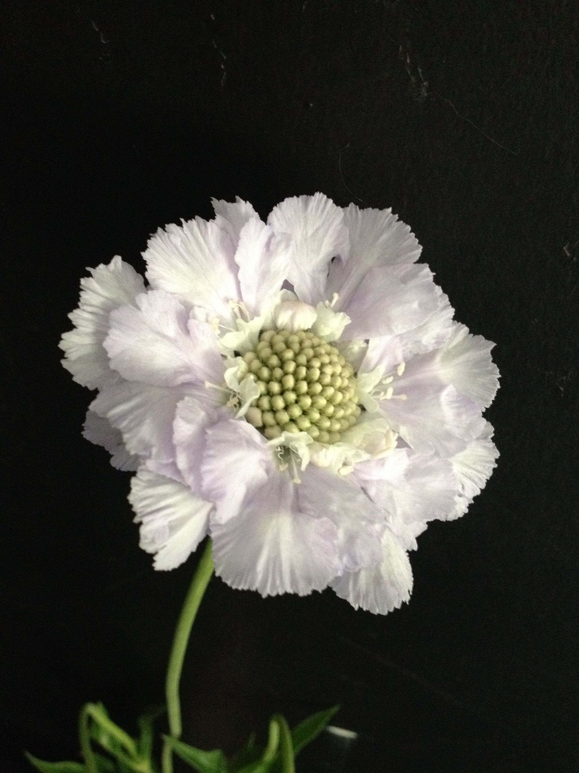 White Scabious This Is The White Version Of The Pale Blue Flowers