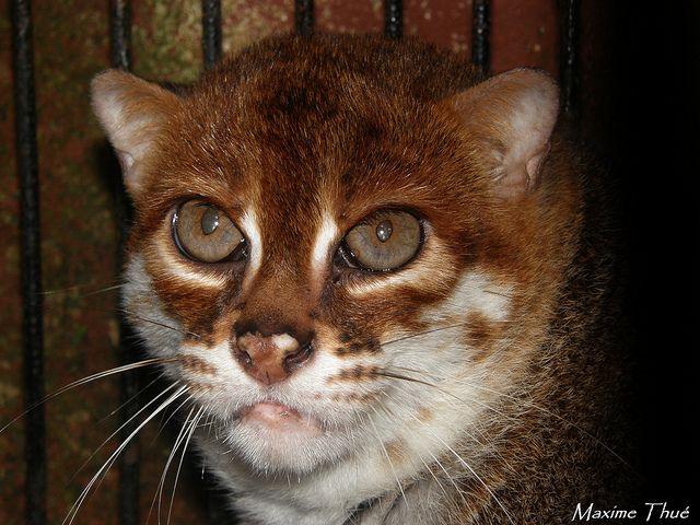 The flat-headed cat (Prionailurus planiceps) is a small wild cat patchily distributed in the Thai-Malay Peninsula, Borneo and Sumatra. It is an endangered species.