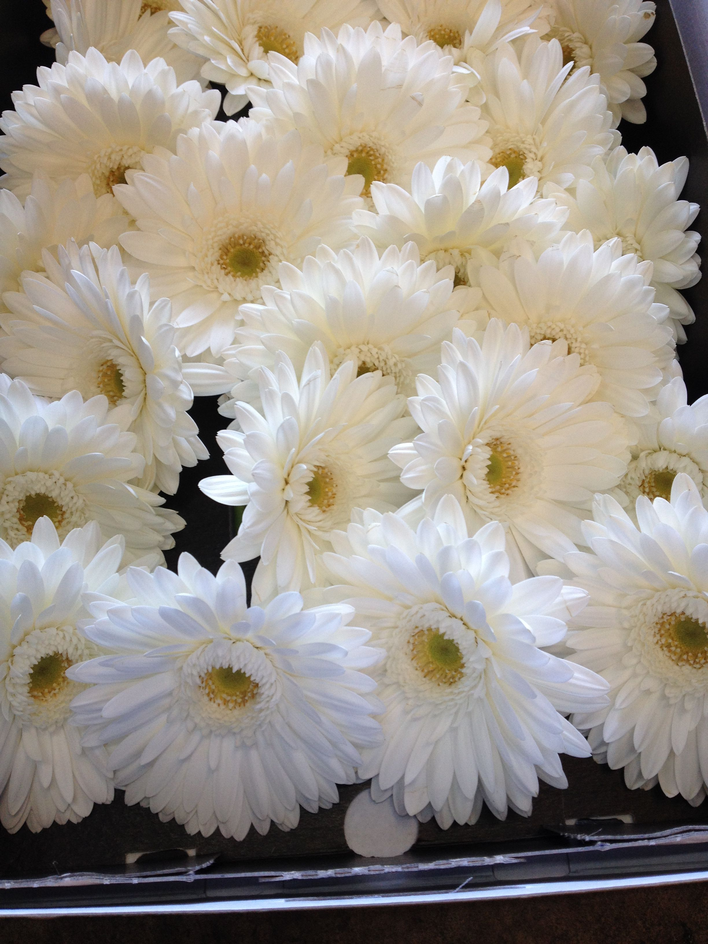 Large Gerbera called 'Pole Ice' Sold in boxes of 25 or 50