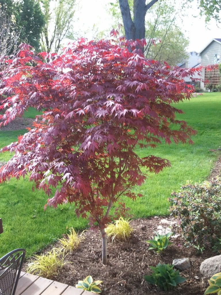 Fireglow Japanese Maple Japanese Maple Fireglow Grows 8