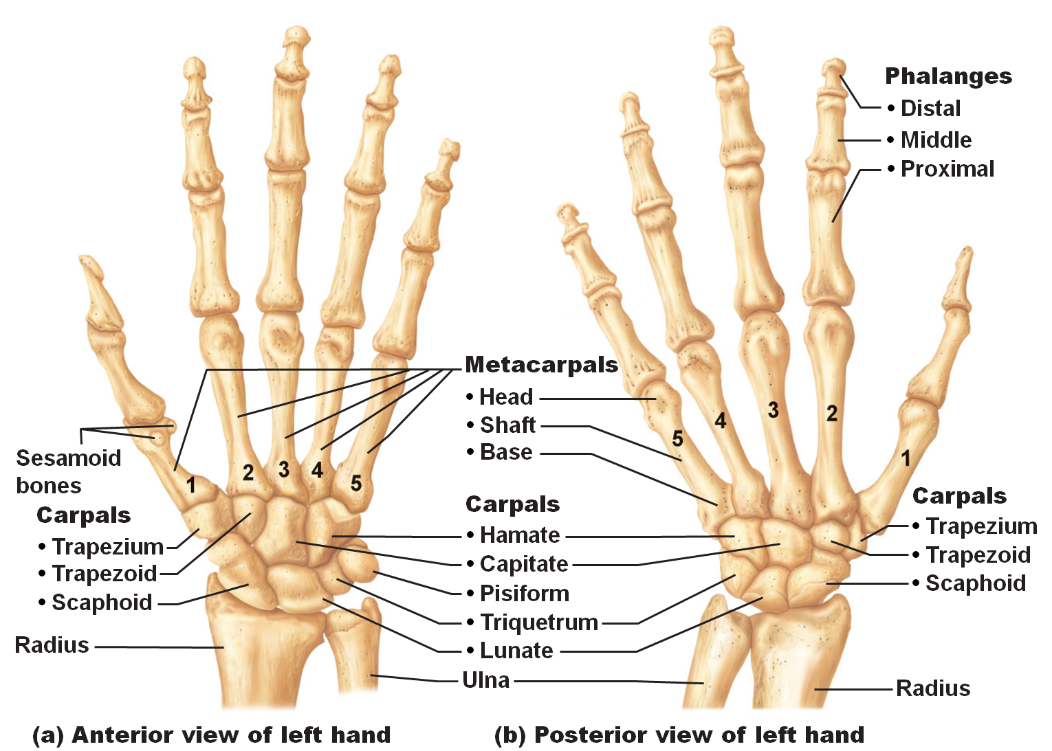 Bones of the hands | Anatomy & Physiology | Pinterest