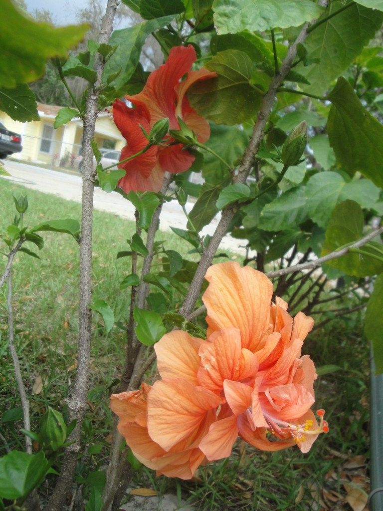 Our Hibiscus Plant It Produces Two Different Types Of Flowers Hibiscus Plant Hibiscus Different Types Of Flowers
