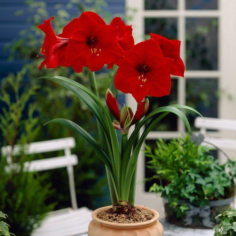 Red Lion Amaryllis Bulb Flowers Amaryllis Long Lasting Flower