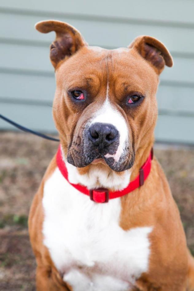 Adopt Rudy on Petfinder | Pitbull terrier, Bull terrier ...