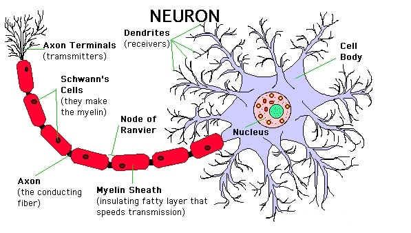 NeuronThe Cell Theory of Spirituality Cell theory