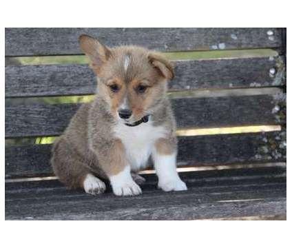 Cxxxo Pembroke Welsh Corgi Puppies For Sale Is A Male Pembroke Welsh Corgi For Sale In Seattle Wa Corgi Puppies For Sale Puppies Puppies For Sale