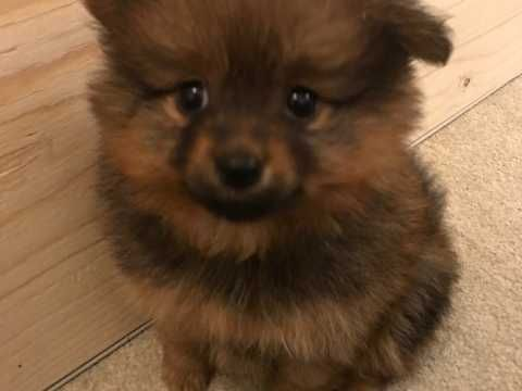 Puppy poms for sale ready to leave now. We have 1 girl (lighter Pom) and 1 boy left (darker Pom.) Mum and dad are both pedigree Pomeranians....