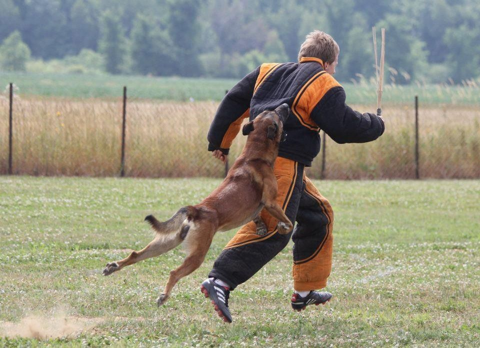Personal Protection Dog Trained And Sold By Www Deltak9 Com