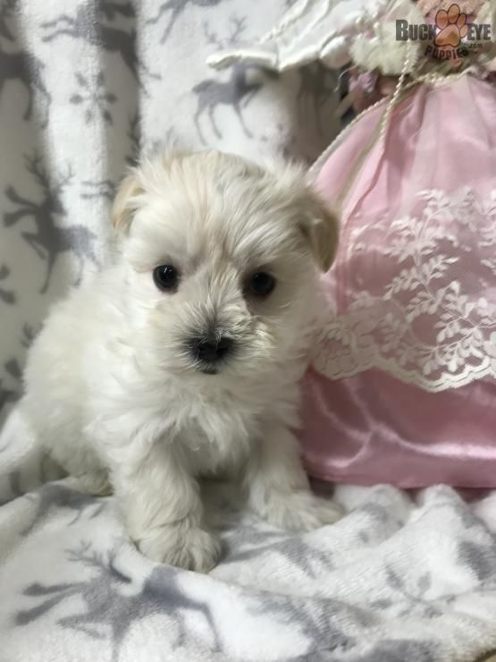 Maggie Morkie Puppy For Sale In Dover Oh Buckeye Puppies Morkie Puppies Puppies Morkie Puppies For Sale