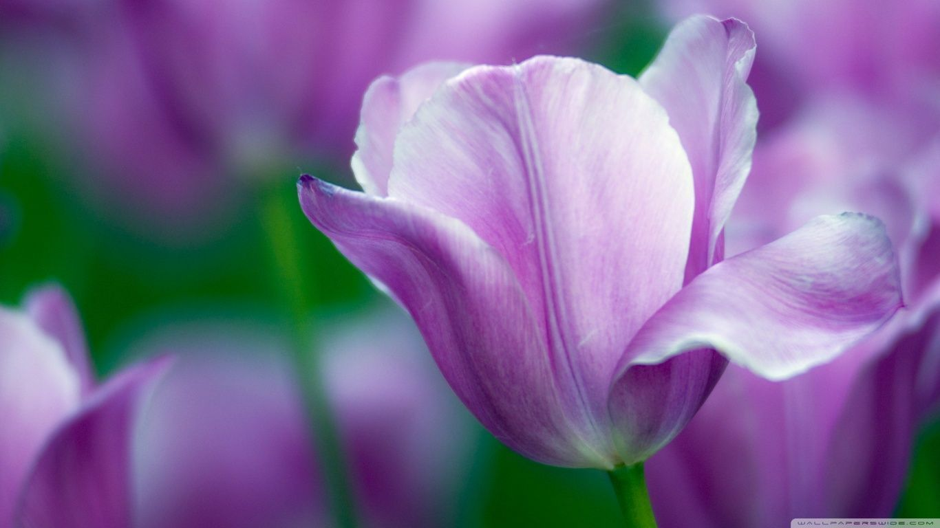 Violet tulip hd desktop wallpaper high definition fullscreen violet tulip hd desktop wallpaper high definition fullscreen thecheapjerseys
