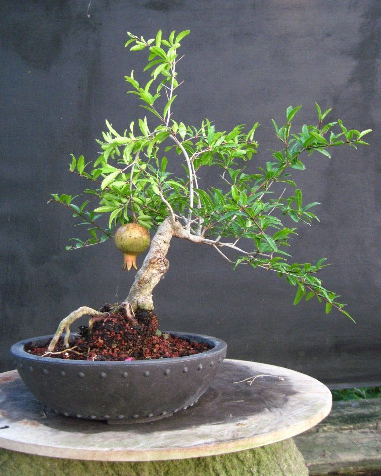 bonsai beginnings punica granatum pomegranate bonsa fruit bonsa bonza et fruit. Black Bedroom Furniture Sets. Home Design Ideas