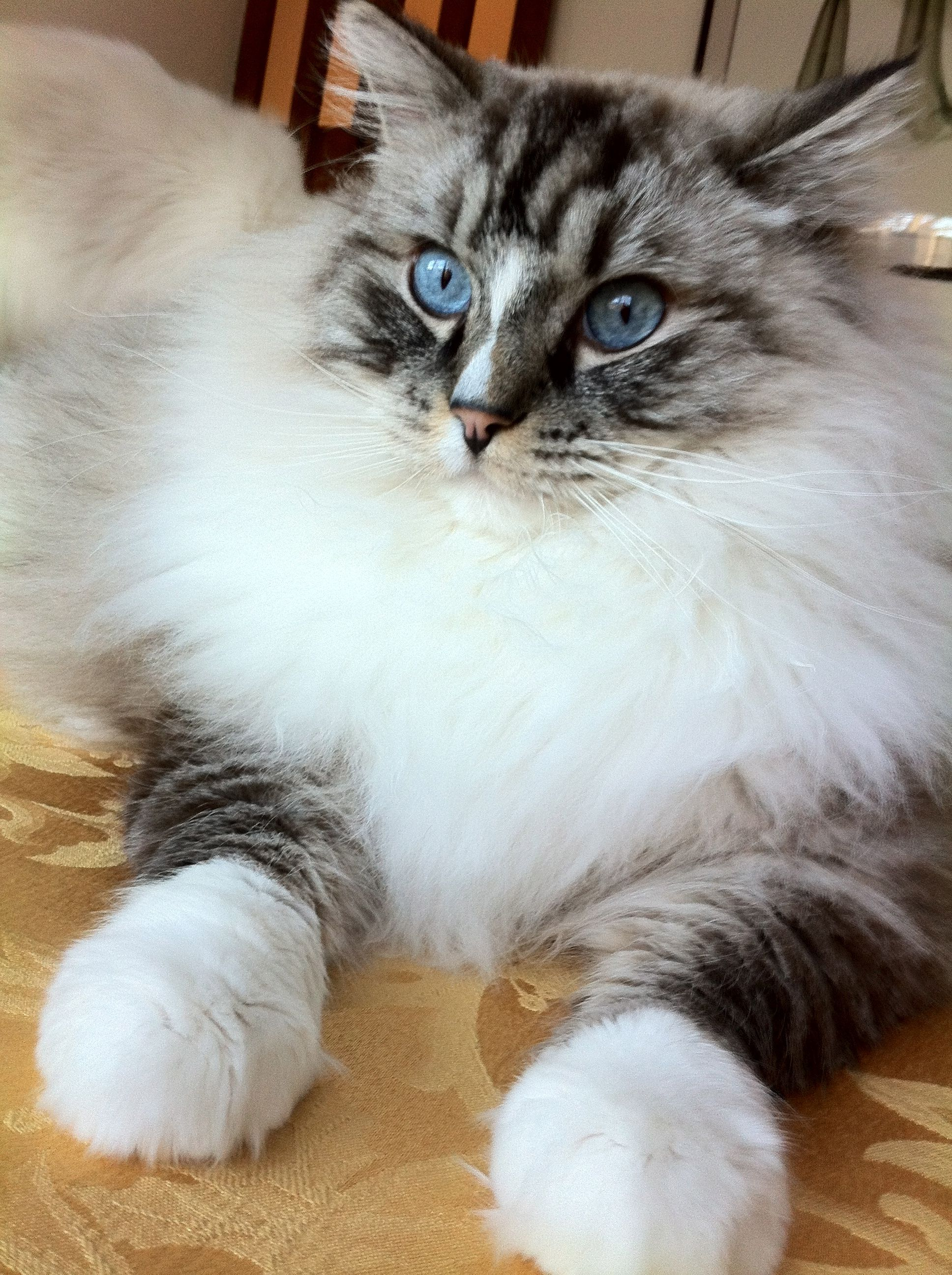 How to keep a maine coon growth chart cat norwegian forest cat beauty cat with elizabethan ruff and mittens so fluffy nvjuhfo Image collections