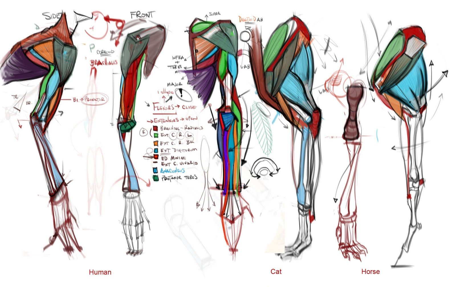 Nice Comparative Anatomy! Upper Torso, Upper Arm and Legs. By ...