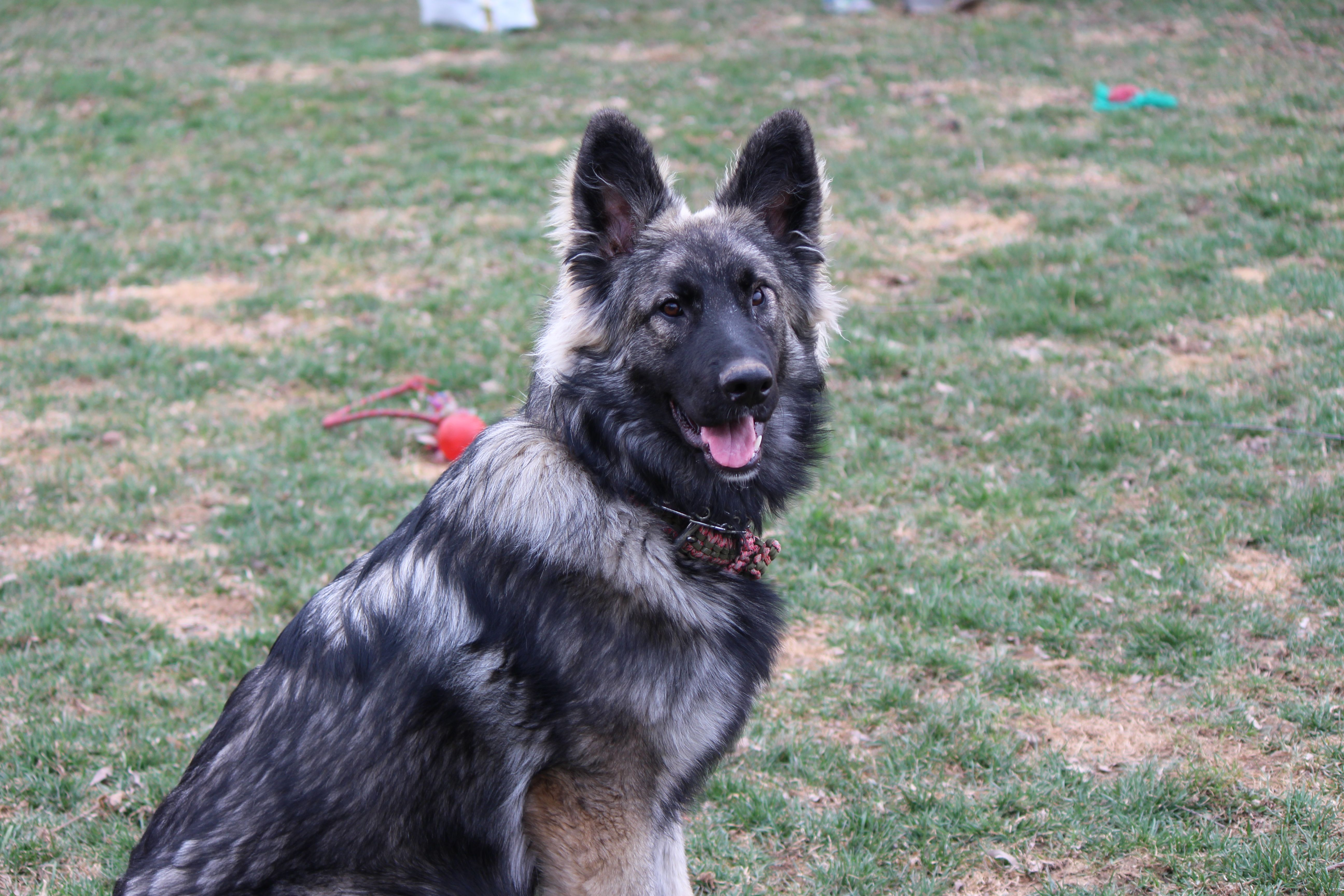 7 Month Old Gsd Sable Female 7 Month Olds Dogs Gsd