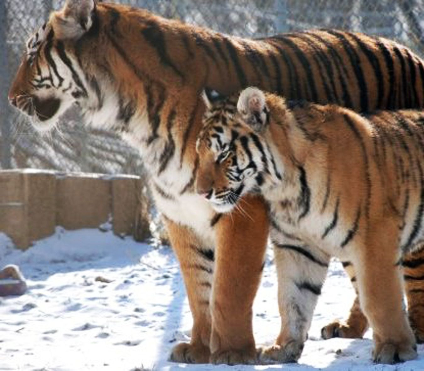 Ohio Rescue Video Tigers In America With Images Rescue Big Cat Rescue Big Cats