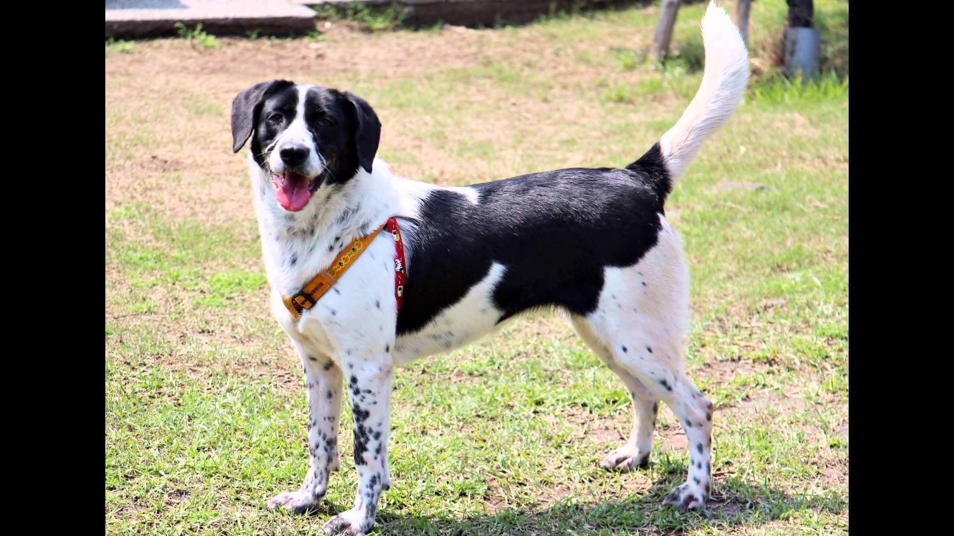 Beagle Lab Mix Beagle Lab Mixes Beagle Beagle Mix