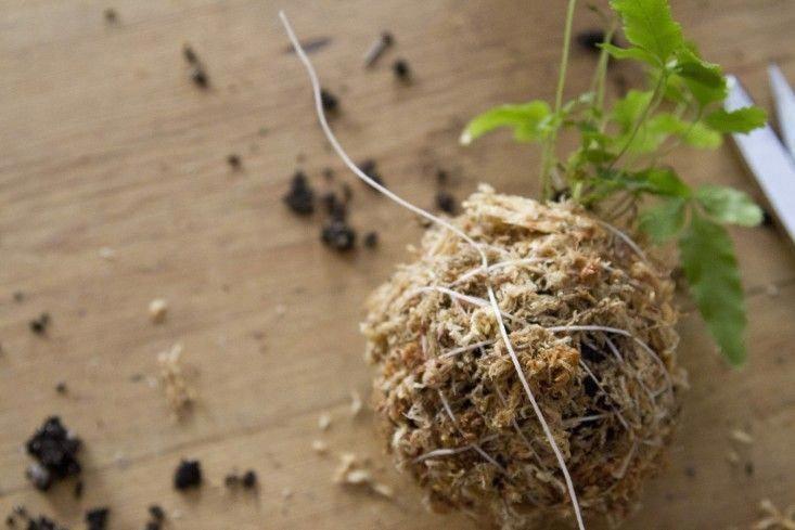 Kokedama string ball hanging planter by Erin Boyle #Kokedamassouvenirs #Kokedamasmateriales