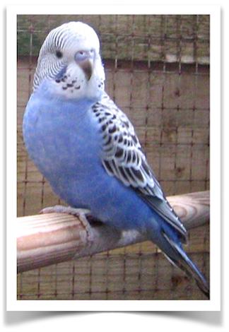 English Budgerigar Blue Pet Birds Budgerigar Pet Bird Cage