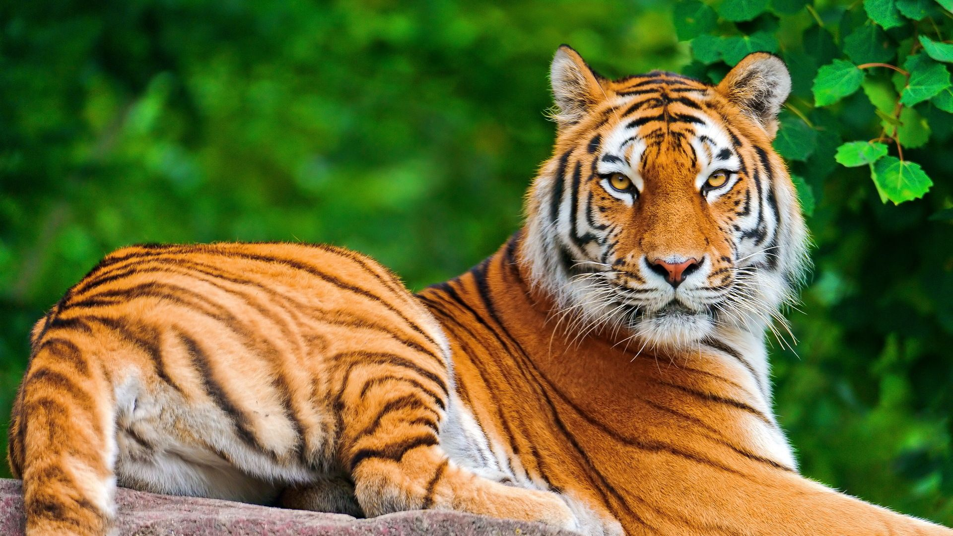 Download Free Tiger Wallpapers Amazing Collection Of Full Screen