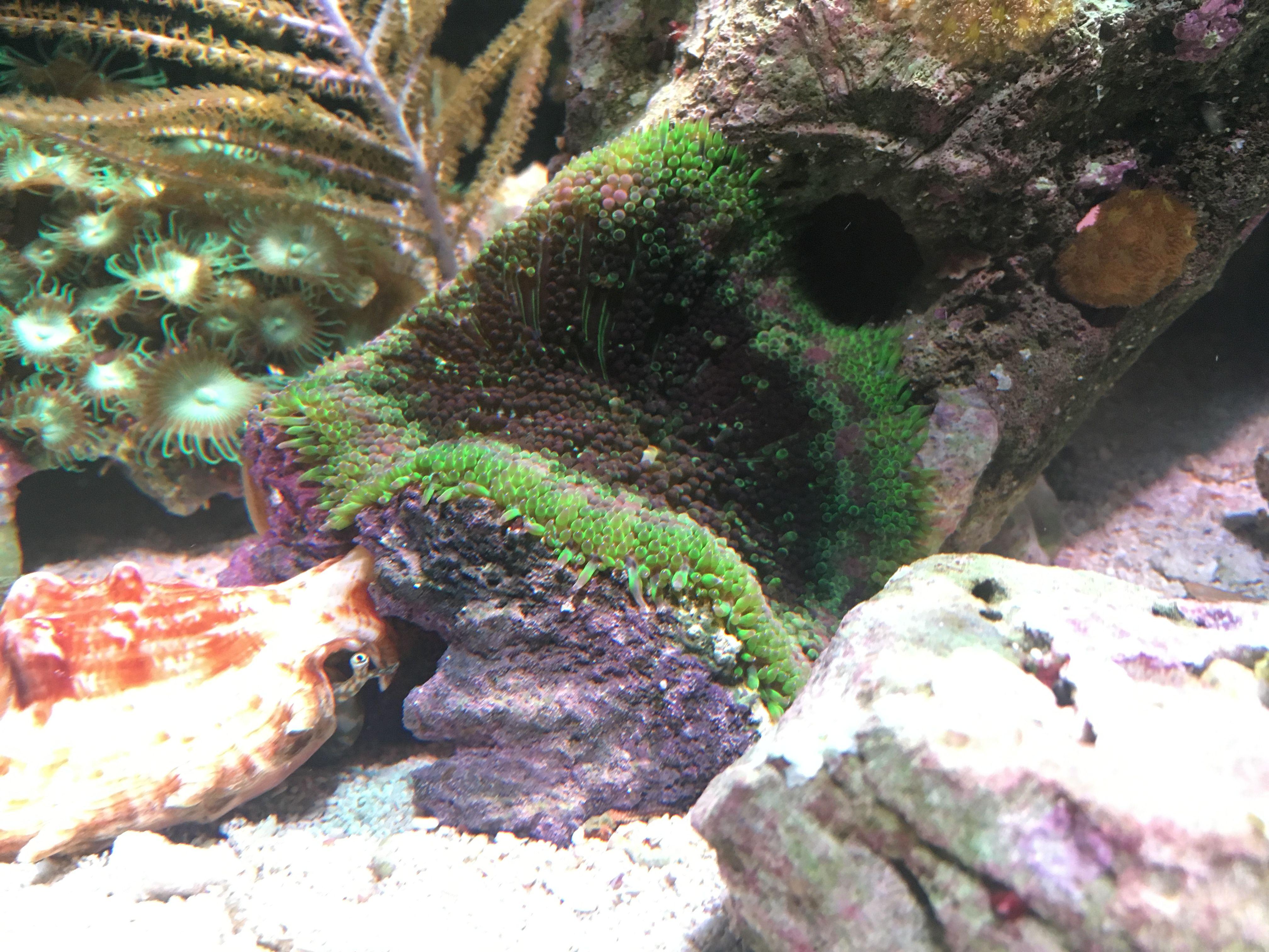 Mini carpet anemone inspiration pinterest aquariums and reef tanks