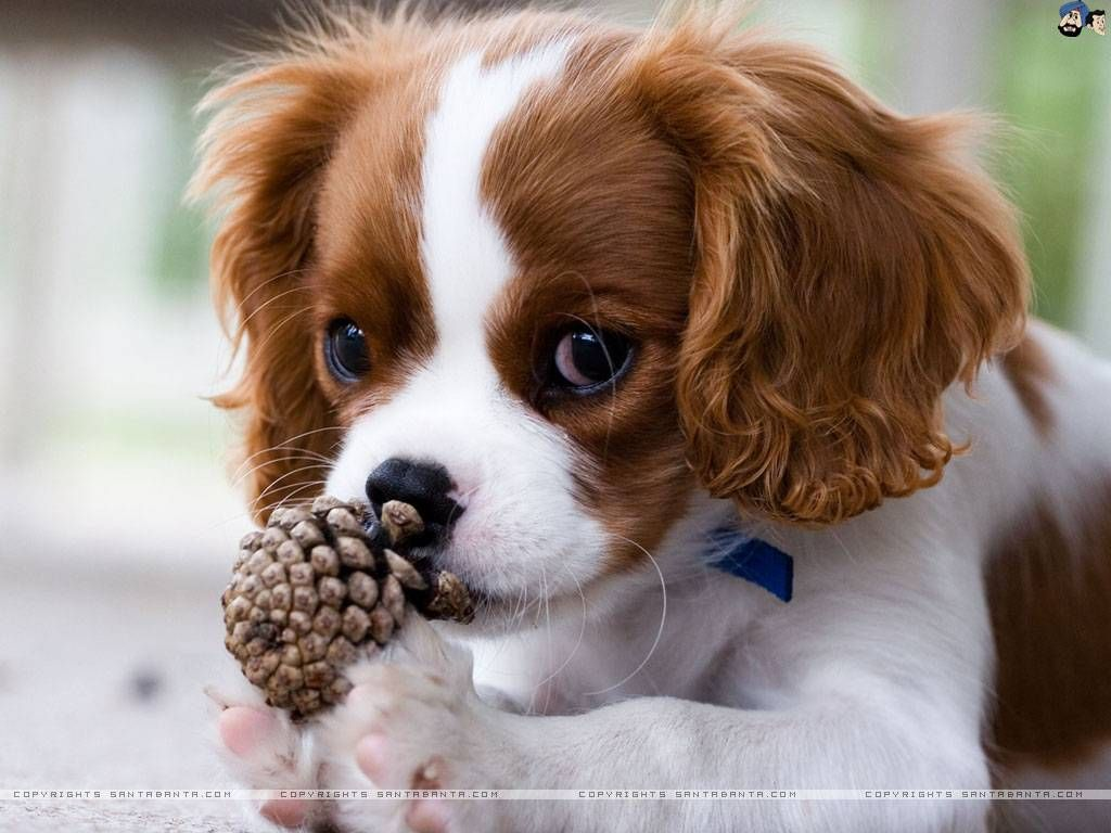 Brown And White Dog Dogs Wallpaper With Images King Charles