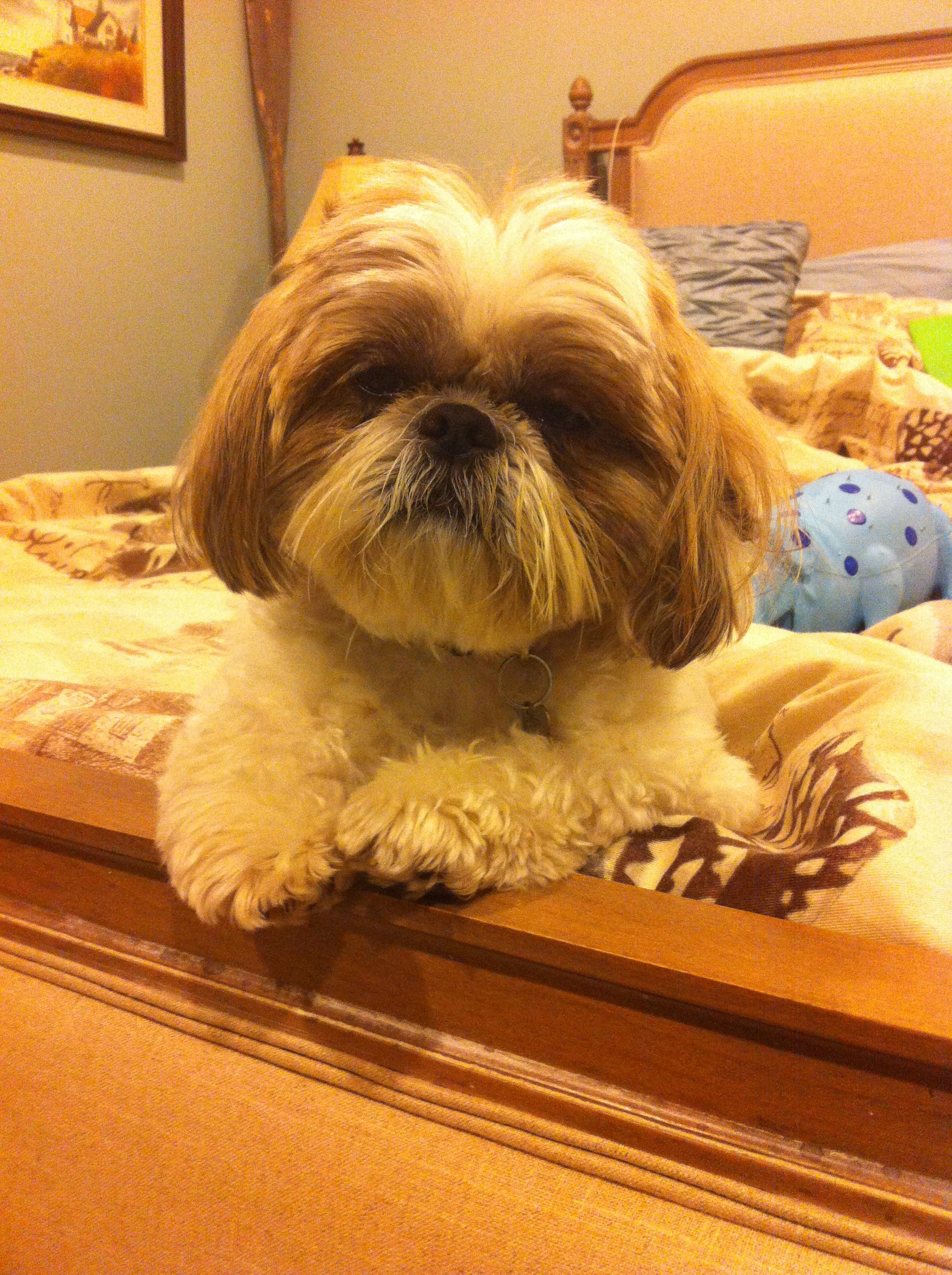 Getting ready for bed. Shih tzu dog, Toy dog breeds