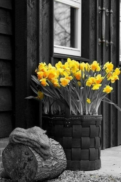 Yellow Daffodils   Color splash photo, Color splash ...
