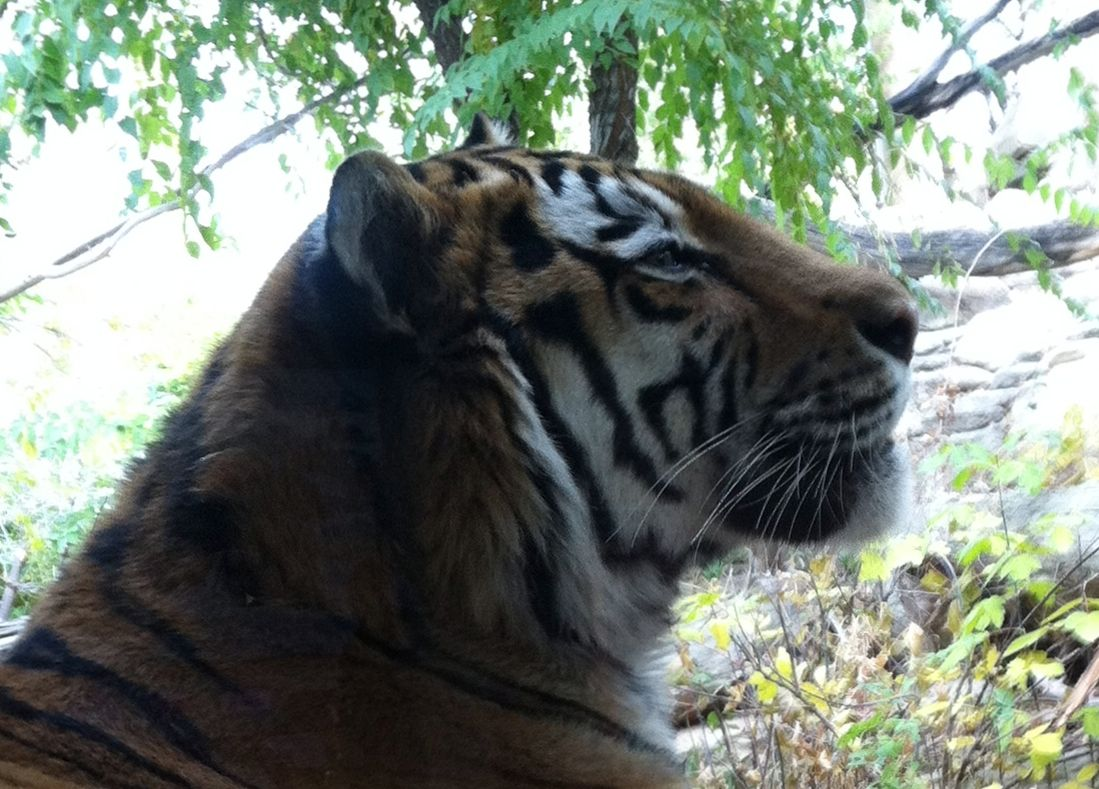 Tiger at Hogle Zoo in Utah. It was sitting right next to