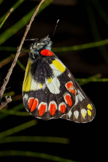 Wood White Butterfly, Delias aganippe, Australia