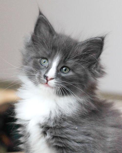 Adorable Grey White Long Haired Kitten Hva Grey And White