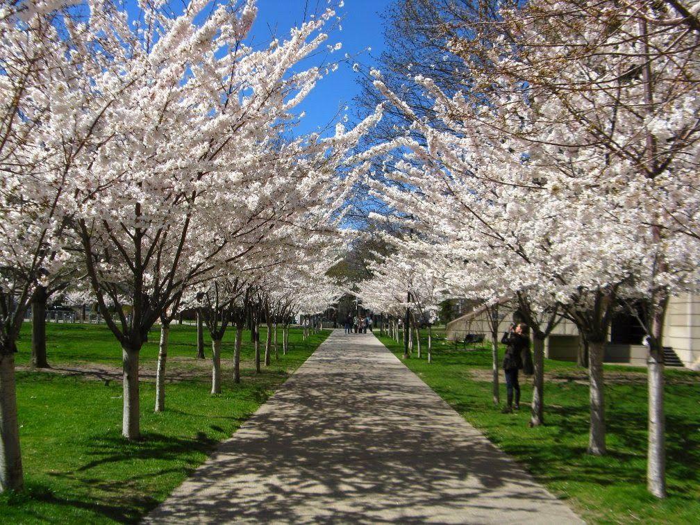 Allee Of Japanese Flowering Cherry Prunus X Yedoensis In Bloom University Of Toronto Robarts Libr Toronto Gardens Japanese Flowering Cherry Yoshino Cherry Tree