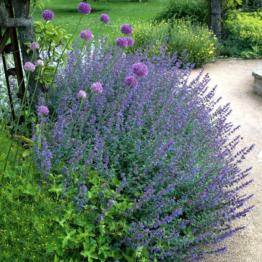 Dauerbluher Sommer Winterhart Google Suche Katzenminze Wustenlandschaft Garten Pflanzen