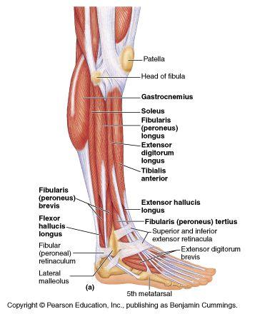 Leg and foot anatomy