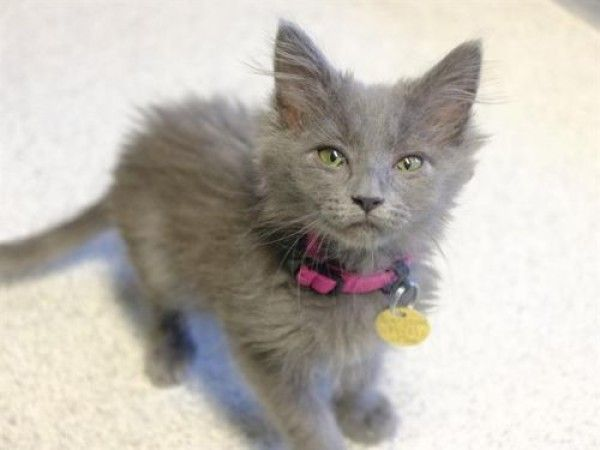 Domestic Medium Hair Cat For Adoption In Denver Colorado Pelusa In Denver Colorado Cat Adoption Cats Pitbull Terrier