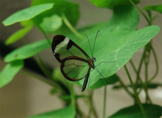 Greta oto butterfly