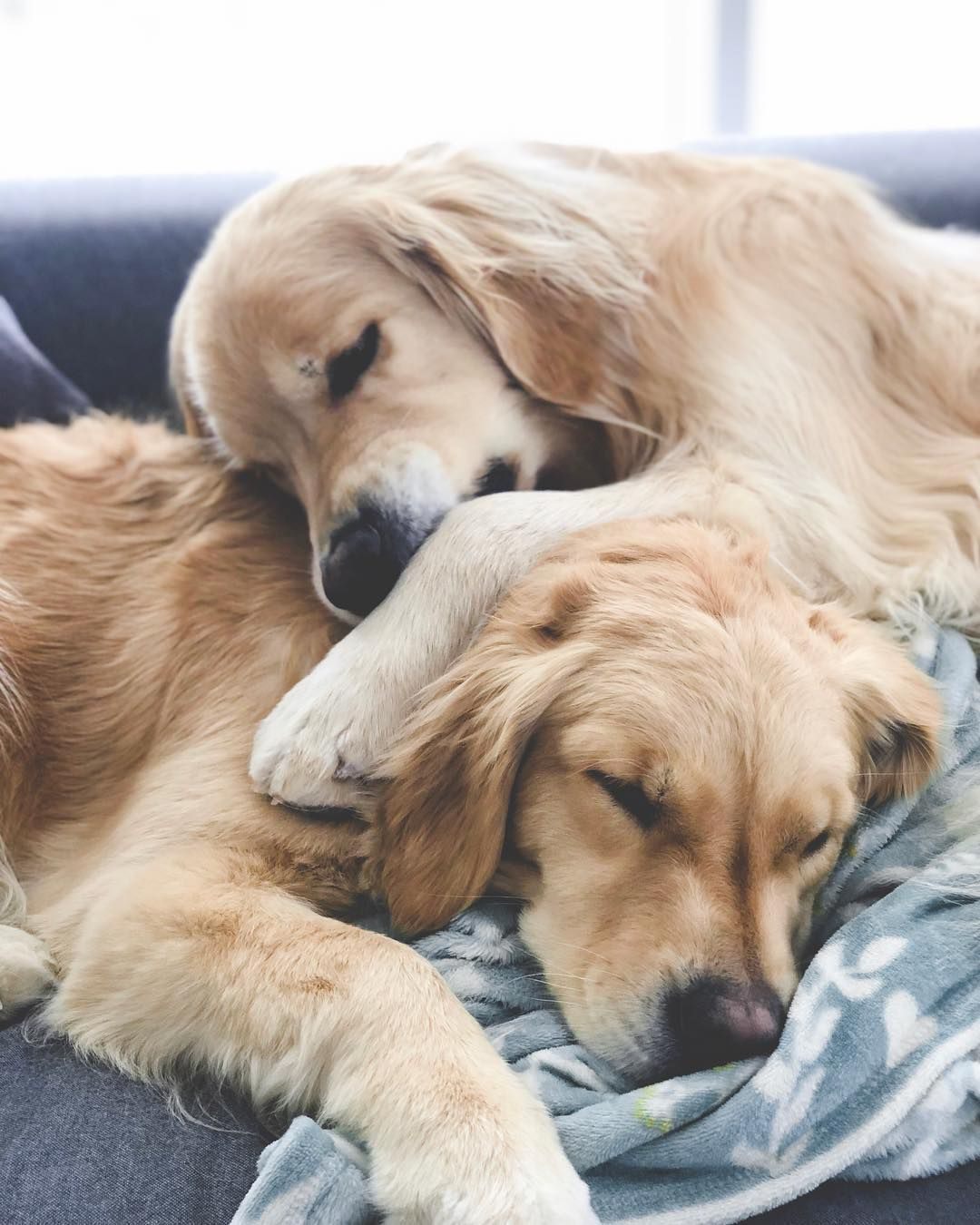 2 Golden Retriever Puppies On Instagram Sundays Are For Snuggles